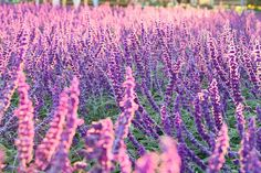 salvia leucantha by cate♪ on Flickr.