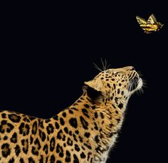 Leopard and Butterfly (Two of my favorites!!! Just HAD to share!! Hope you had a GREAT day!) ;D