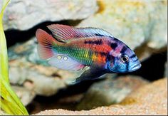 Xystichromis Victorian Cichlid - One great looking Cichlid!!