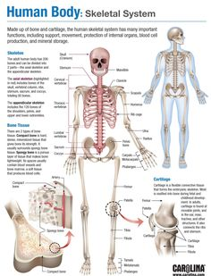 Infografik - Menschlicher Körper: Skelettsystem - The Effective Pictures We Offer You About Human Body System studying A quality picture can tell you m Human Body Anatomy, Human Anatomy And Physiology, Anatomy Of The Body, Human Body Structure, Human Body Facts, Nursing School Notes, Nursing Schools, Human Body Systems, Human Body Unit