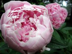 'Sarah Bernhardt' Peony - is this the colour that you would like for the pink shade, Juliet? It is closest to your pantone pink selection, but is not as peachy as some of the peonies on your pins.