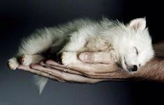 this is a sleeping wolf pup...i never saw anything more precious in my life