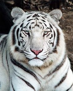 We treated a white Bengal tiger at our teaching hospital today. Did I mention I LOVE my job?