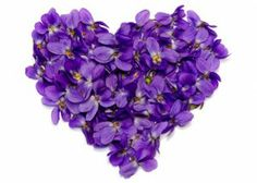 .Heart made of wild purple violets
