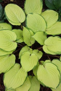 "Hosta 'Paradise Island' - Zone: 3-8, at least,  Height: 12"",  Culture: Part Sun to Light Shade,  Origin: Hybrid"