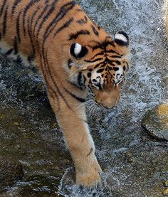 A beautiful Amur tiger investigates water in its outdoor enclosure at the zoo in Leipzig, Germany.