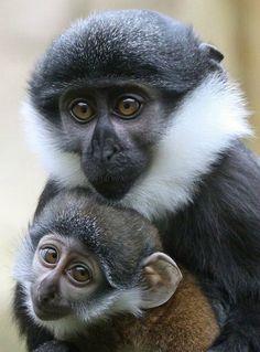 Mustache monkey