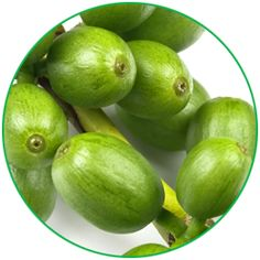 Ekstrakt z zielonej kawy posiada składnik odpowiedzialny za utratę kilogramów czyli kwas chlorogenowy