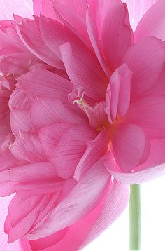~~ Lotus Flower ~~