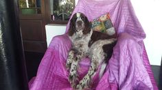 The Old Man and the Chair (Luke - English Springer Spaniel)