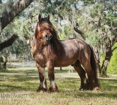 Ardennes Draft Horse Stallion  8630-19V :: Horses Stock Photography and Equine Images by Mark J. Barrett
