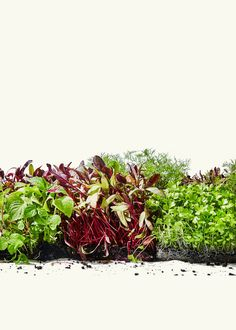 Meet the small but mighty microgreen.