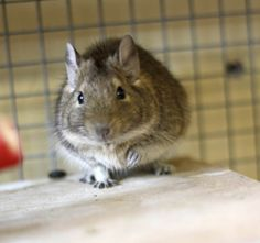 Dusty the degu is looking for a home with sister Dotty. RE-HOMED!