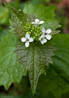 Turn this nuisance weed into useful food and medicine fitting for the springtime sniffles.