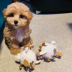 """Buddy on Instagram: """"I got lots of new toys today & loved playing with them!! 🐶 ❤️🐶❤️🐶❤️🐶❤️🐶❤️ #maltipoo #puppies #puppiesofinstagram #dogsofinstagram #dog…"""" Maltipoo Puppies, New Toys, Teddy Bear, Play, Dogs, Animals, Instagram, Animales, Animaux"""