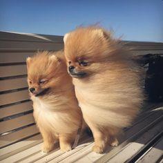 Cani/Pomerania(Volpino di- o Spitz Tedesco nano):