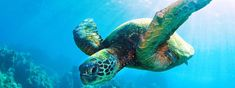 WWF- Save the Turtles!! Nearly all species of marine turtle are classified as Endangered. Slaughtered for their eggs, meat, skin and shells, marine turtles suffer from poaching and over-exploitation.