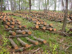 cultivo de shitake (hongo) a partir de troncos de madera y condiciones del medio ambiente, sombra, humedad,etc