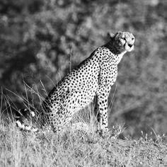 white and black tiger painting photo – Free Animal Image on Unsplash Tiger Painting, Black Tigers, Animals Images, Tobias, Hd Photos, Mammals, Wildlife, Free, Tiger Drawing