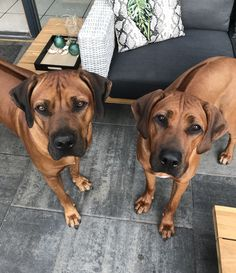 Rhodesian Ridgeback Puppies, Bloodhound Dogs, Boxer Mix Puppies, Dogs And Puppies, Doggies, Beautiful Dogs, Animals Beautiful, Huge Dogs, Group Of Dogs