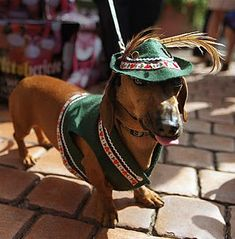 This Dachshund is in the Oktoberfest spirit! Scottish Terrier, Dachshund Love, Daschund, Dachshund Humor, Weenie Dogs, Doggies, Dog Costumes, Mans Best Friend, Pets