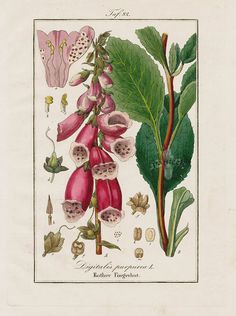 "Antique prints of ""Foxglove, Digitalis purpurea"" from Eduard Winkler Medicinal Prints 1832"