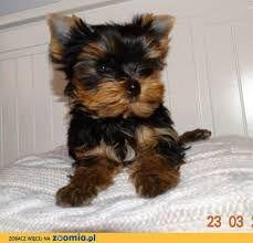 Znalezione obrazy dla zapytania yorkshire terrier miniaturka