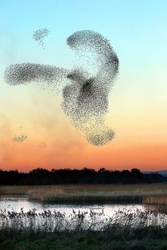 Starlings rise from winter roost - (CC)Tony Armstrong (midlander1231) - www.flickr.com/photos/tonyarmstrong/5381370808/in/photostream#