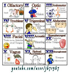 Easily remember all the functions of the cranial nerves. From frowning to smiling, the cranial nerves help you move the muscles of your face, to even special. Nursing School Tips, Nursing Notes, Nursing Tips, Nursing Schools, Ob Nursing, 12 Cranial Nerves Mnemonic, Cranial Nerves Function, Cranial Nerves Anatomy, Examen Clinique