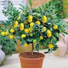 Son dönemde balkon ve teras çiftlikleri tabiri çok kullanılmaktadır. Bunun sebebi maydanoz, domates, biber, çilek gibi bitkilerin evlerde yetiştirilmesidir. Bu bitkilere limonu da eklemek mümkündür. Bunun için püf noktaları bilmek faydalı olacaktır. Bakalım dikkat etmemiz gerekenler nelermiş? – Metal bir saksı tercih edilmelidir. – Limon ağacının saksısı 17, 22 ya da 28'lik olmalıdır. – Çok …