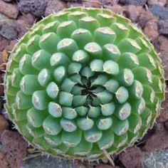 10 Best Hardy Succulents for Landscaping; my recommended xeriscaping plants this one:OROSTACHYS
