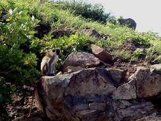Green Vervet Monkeys are often seen foraging along the shore