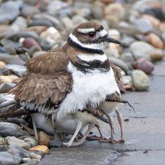 killdeer, killdeer photos, birding in New Jersey, New Jersey wildlife, birds in New Jersey, killdeer chicks, baby killdeer