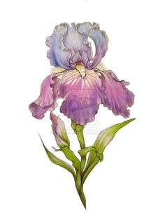 Iris design by byakuren-studios on deviantart ink: kiddiecol Botanical Drawings, Botanical Illustration, Botanical Art, Iris Tattoo, Watercolor Flowers, Watercolor Paintings, Tattoo Watercolor, Acrylic Flowers, Watercolors