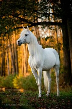 Gorgeous grey - white horse at the edge of the sunny woods,