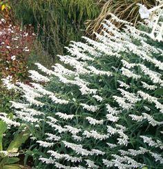 Mexican Bush Sage 'White Velour' (Salvia leucantha)