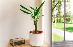 How to Grow and Care for Corn Plants (Dracaena Fragrans)#care #corn #dracaena #fragrans #grow #plants Growing Roses, Growing Plants, Dracena Plant, Snake Plant Care, Easy To Grow Houseplants, Rose Cuttings, Corn Plant, House Plant Care, House Plants Decor
