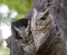 Owls In Tree Hole, Cool, In Tree Hole, Owls, Picture