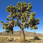 Day trip (less than 1 hour drive) - Joshua Tree National Park (trees bloom through March) California National Parks, Us National Parks, Joshua Tree Camping, California Wildflowers, Park Service, Garden Seeds, Day Trip, Palm Springs, State Parks