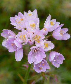 Allium court roseum #allium #roseum #rose #fleur #jardin #bulbe #ernestturc Allium Flowers, Canna Lily, Astrantia, Astilbe, Agapanthus, California Poppy, Colorful Garden, Calendula, Begonia