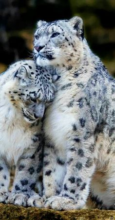 Snow Leopards in Love - look how regal the male looks ♥♥♥