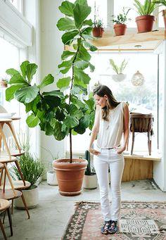 Hoy les platicamos de la planta Ficus Lyrata, una especie originaria de los climas tropicales de África Occidental, capaz de darle onda a cualquier espacio.
