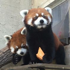 Please send all your congratulatory messages to Sachi the red panda, who after months of spinsterdom has finally found love.