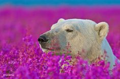 Even though we are used to think of polar bears in their cold environment, they also enjoy summer and the flowers that come with it. Dennis Fast, a Canadian photographer, discovered a polar bear playing with small purple flowers in Canada. Pictures Of Polar Bears, Animal Pictures, Bear Photos, Animals Photos, Beautiful Creatures, Animals Beautiful, Cute Animals, Beautiful Images, Arctic Animals
