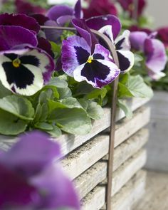 The humble violet is often overlooked due to its small size, but it's a very pretty plant, worthy of some attention.