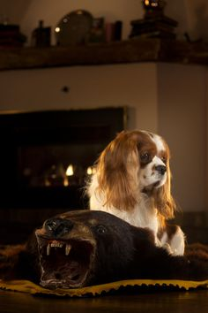 Image result for cavalier king charles spaniel show dog