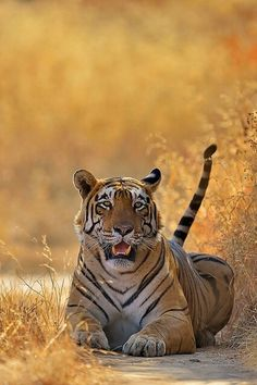 Tiger in the Sun
