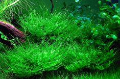 Top 5 Easy-to-Care Aquatic Moss | Aquascapers