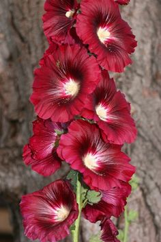 *HOLLYHOCKS