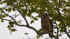 Our resident Owl- Bean, Star of our Owl Prowls Manitoulin Island, Gordon Parks, Owl, Wildlife, Bird, Animals, Star, Animales, Animaux